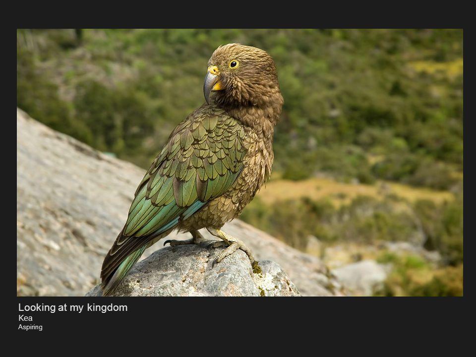 LAAAAA!! Bellbird Kapiti Island