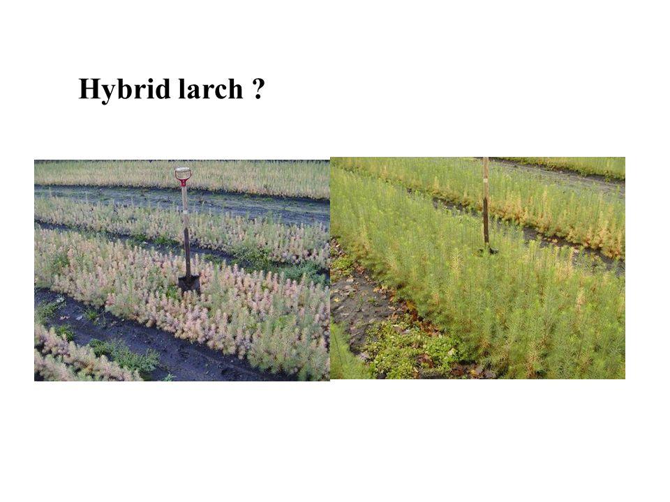 Hybrid larch ?