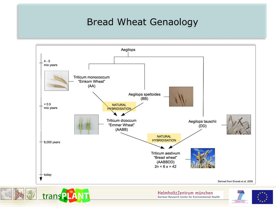 Bread Wheat Genaology