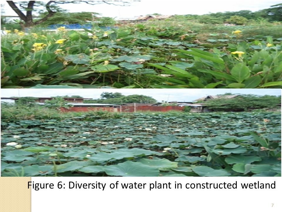7 Figure 6: Diversity of water plant in constructed wetland