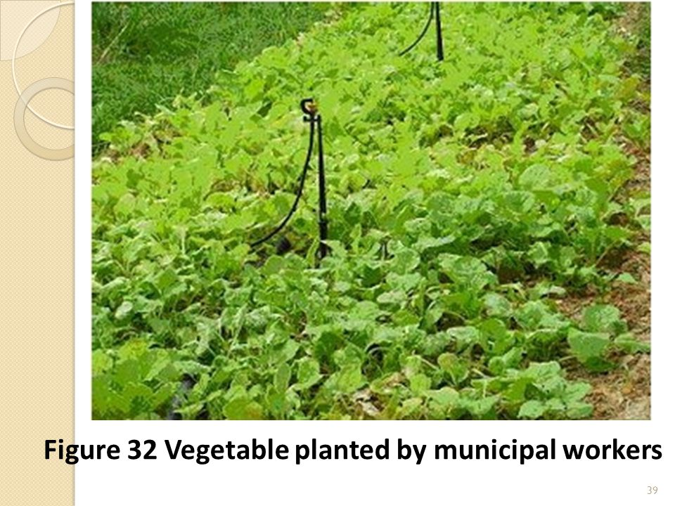 39 Figure 32 Vegetable planted by municipal workers