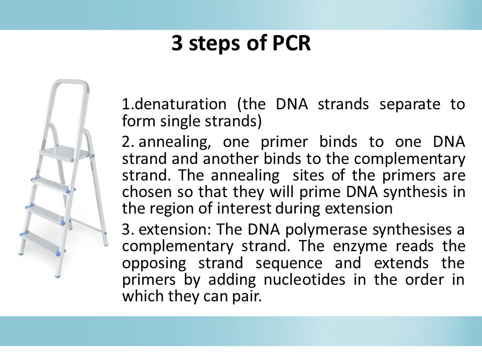 3 steps of PCR 1.denaturation (the DNA strands separate to form single strands) 2. annealing, one primer binds to one DNA strand and another binds to