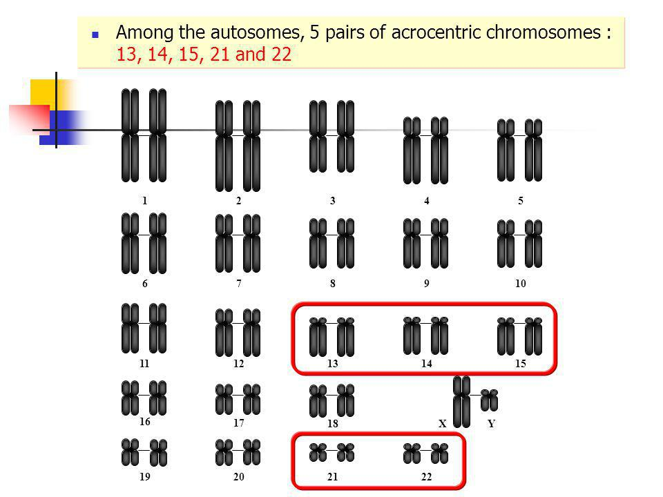 12345 678910 1112131415 16 17 18XY 19202122 Among the autosomes, 5 pairs of acrocentric chromosomes : 13, 14, 15, 21 and 22