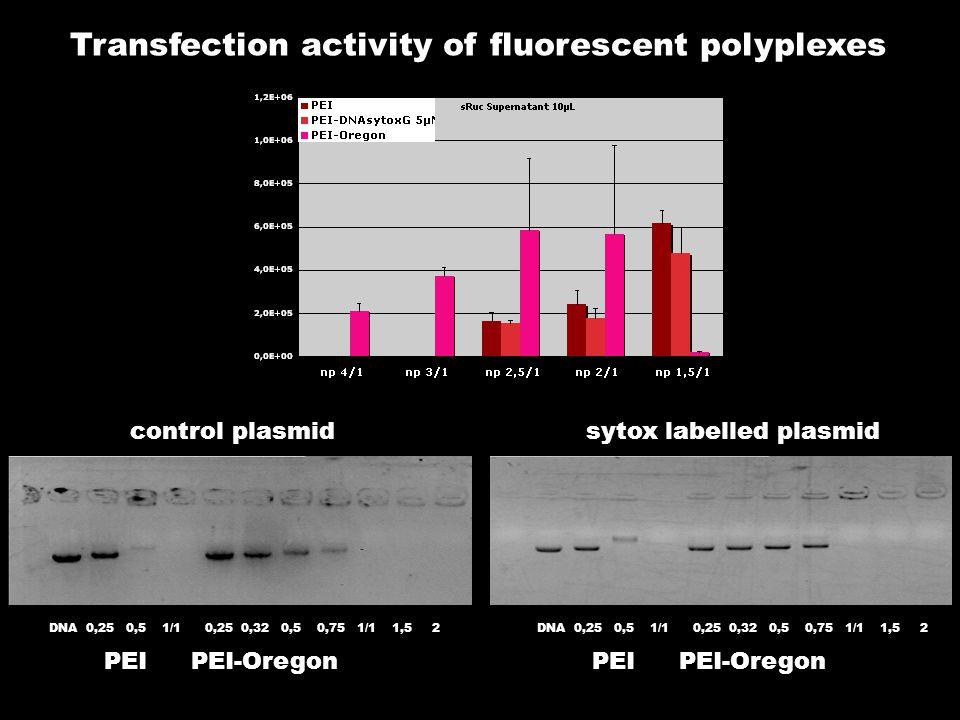 Transfection activity of fluorescent polyplexes DNA 0,25 0,5 1/1 0,25 0,32 0,5 0,75 1/1 1,5 2 PEIPEI-Oregon DNA 0,25 0,5 1/1 0,25 0,32 0,5 0,75 1/1 1,5 2 PEIPEI-Oregon control plasmidsytox labelled plasmid