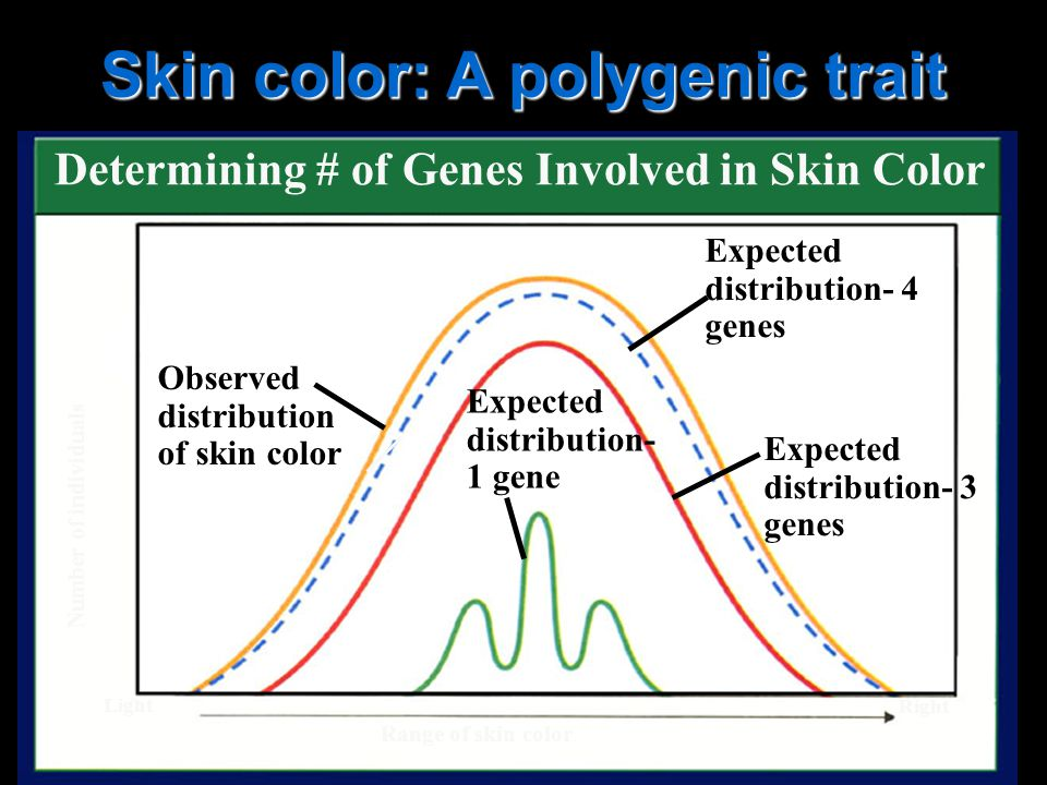 Skin color: A polygenic trait Determining # of Genes Involved in Skin Color Observed distribution of skin color Expected distribution- 1 gene Expected distribution- 4 genes Expected distribution- 3 genes Range of skin color Light Right Number of individuals