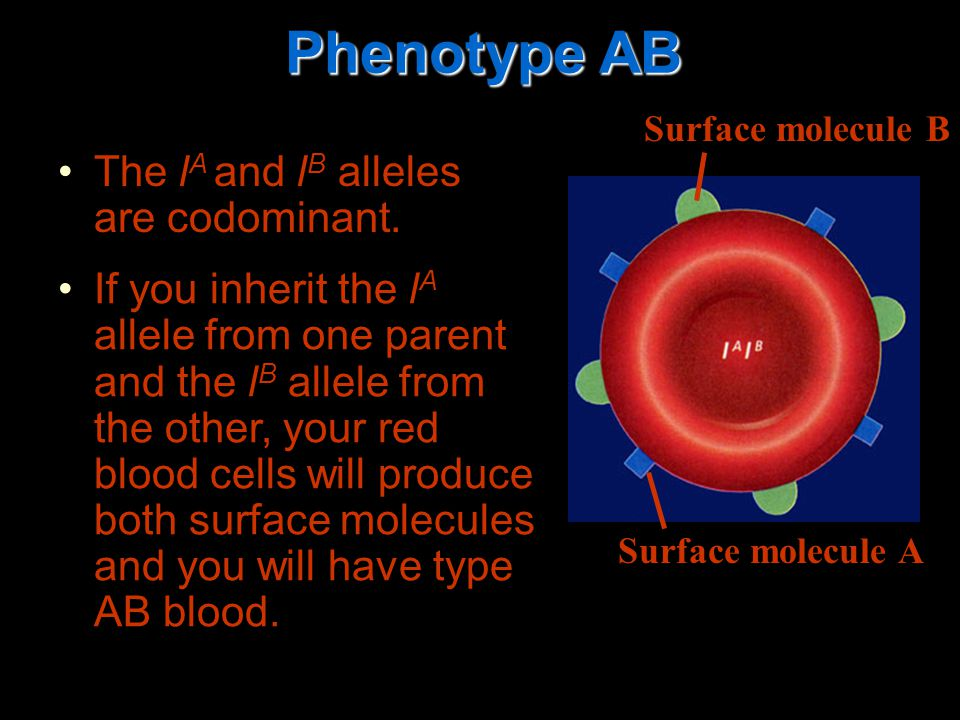 The l A and l B alleles are codominant.