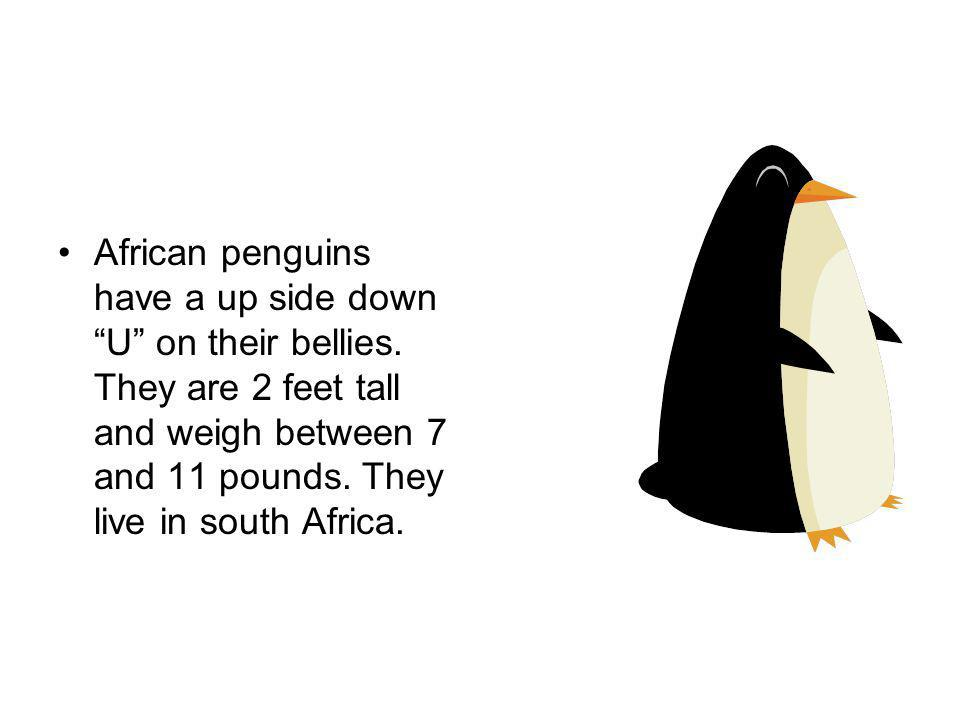 African penguins have a up side down U on their bellies.