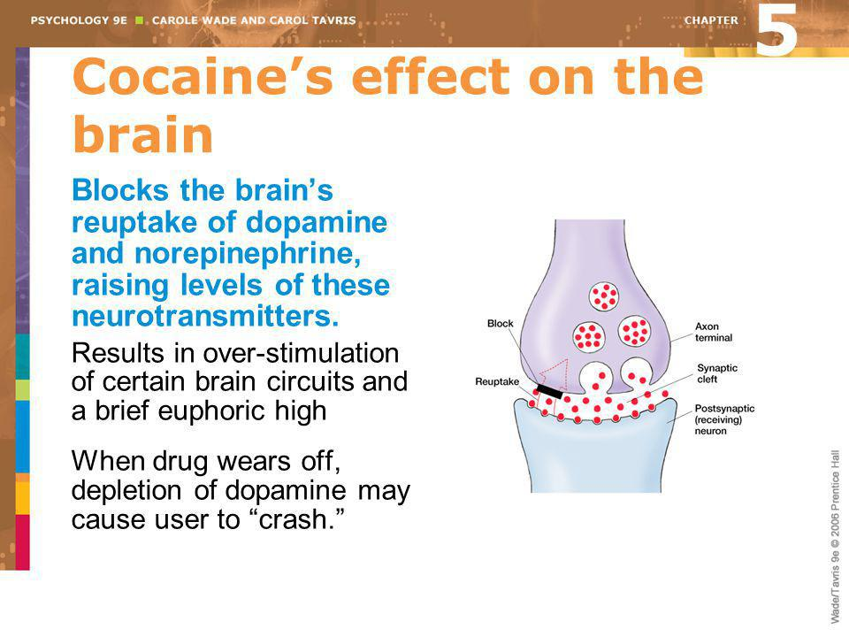 Cocaine's effect on the brain Blocks the brain's reuptake of dopamine and norepinephrine, raising levels of these neurotransmitters. Results in over-s