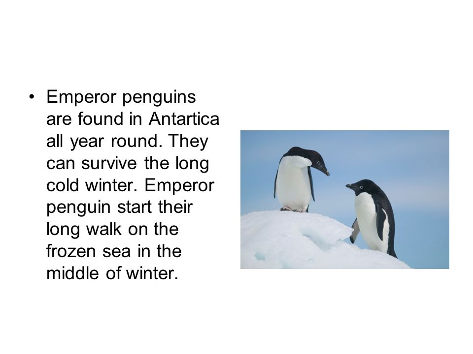Emperor penguins are found in Antartica all year round. They can survive the long cold winter. Emperor penguin start their long walk on the frozen sea