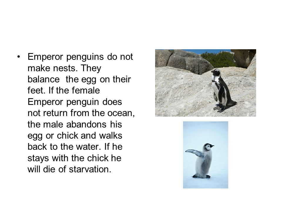 Father Emperor penguins don't eat for three months while they wait for the mother to come back.