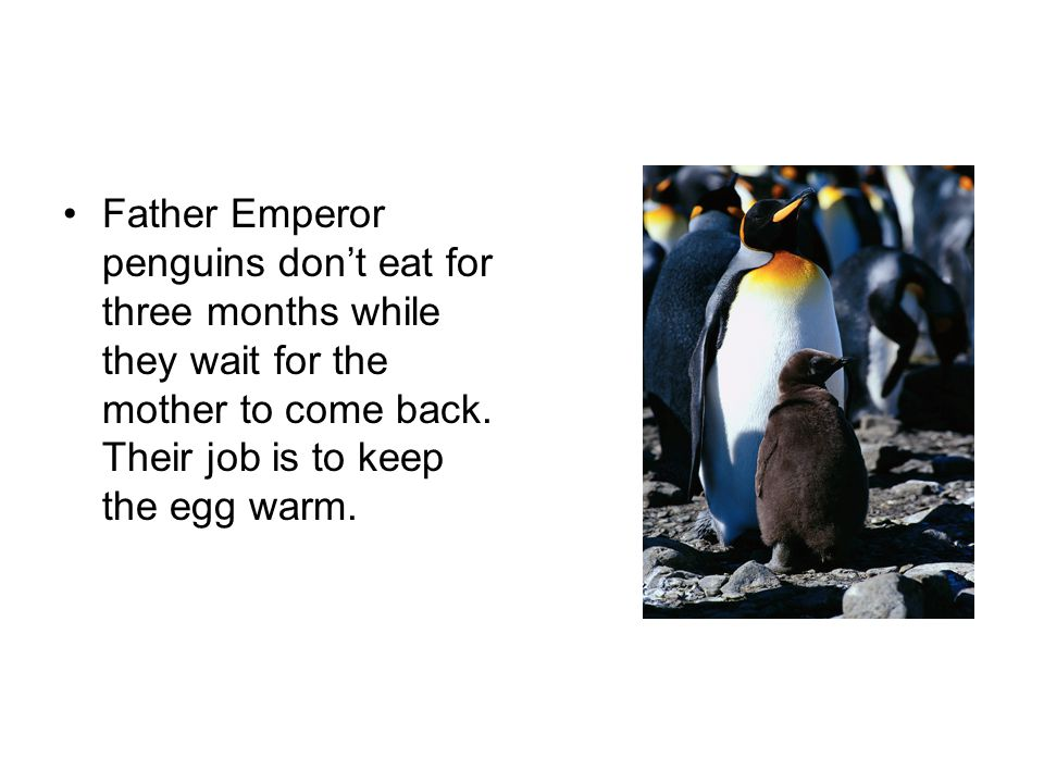 Father Emperor penguins don't eat for three months while they wait for the mother to come back. Their job is to keep the egg warm.