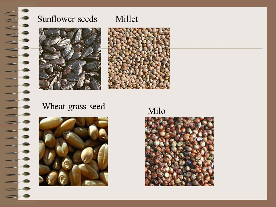 Sunflower seedsMillet Wheat grass seed Milo