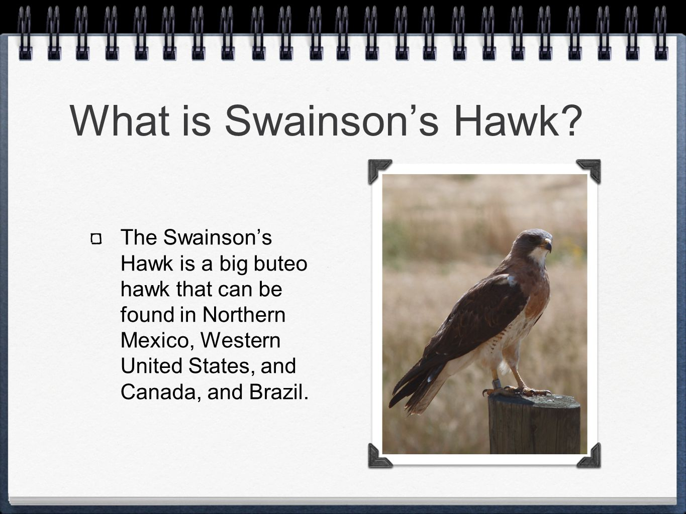 What is Swainson's Hawk? The Swainson's Hawk is a big buteo hawk that can be found in Northern Mexico, Western United States, and Canada, and Brazil.