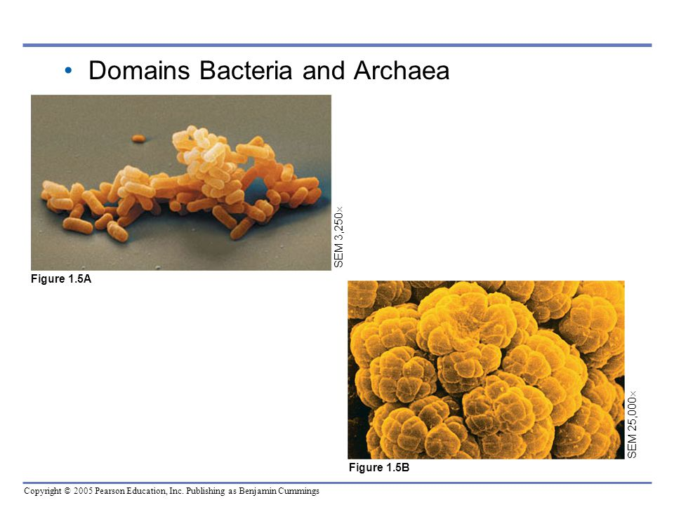 Copyright © 2005 Pearson Education, Inc. Publishing as Benjamin Cummings SEM 25,000  Figure 1.5B Domains Bacteria and Archaea SEM 3,250  Figure 1.5A
