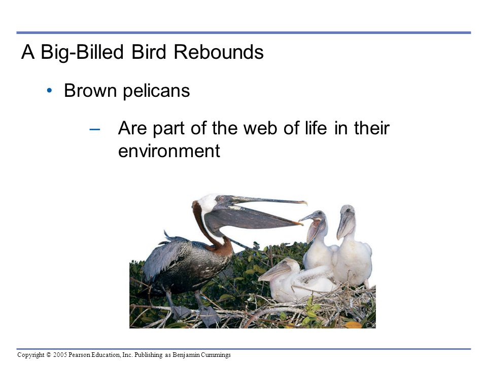 Copyright © 2005 Pearson Education, Inc. Publishing as Benjamin Cummings A Big-Billed Bird Rebounds Brown pelicans –Are part of the web of life in the