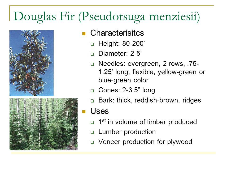 Western Red Cedar (Thuja plicata) Characteristics  Height: 100-175'  Diameter: 2-8'  Leaves: evergreen, opposite in 4 rows, shiny dark green  Bark: reddish-brown, fibrous  Cones:.5 long Uses  Shingles, siding, fences, house decks