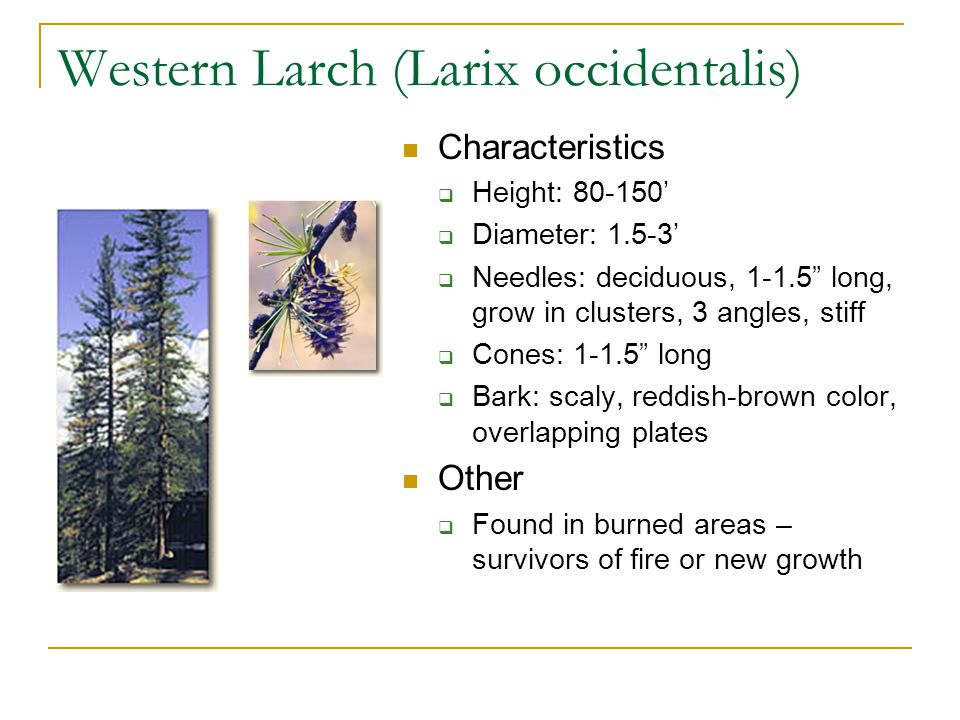 Western Larch (Larix occidentalis) Characteristics  Height: 80-150'  Diameter: 1.5-3'  Needles: deciduous, 1-1.5 long, grow in clusters, 3 angles, stiff  Cones: 1-1.5 long  Bark: scaly, reddish-brown color, overlapping plates Other  Found in burned areas – survivors of fire or new growth