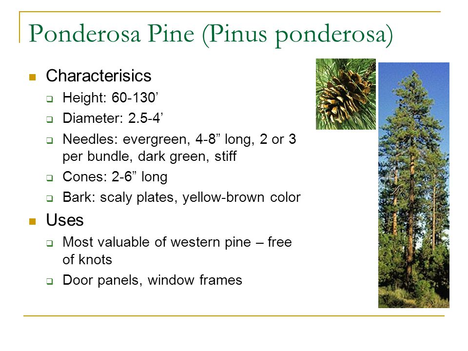 "Ponderosa Pine (Pinus ponderosa) Characterisics  Height: 60-130'  Diameter: 2.5-4'  Needles: evergreen, 4-8"" long, 2 or 3 per bundle, dark green, s"