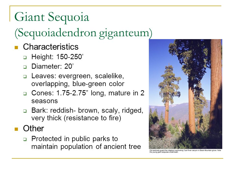 Redwood (Sequoia sempervirens) Characteristics  Height: 200-325'  Diameter: 10-15'  Leaves: evergreen, needlelike and scale like, sharp, dark- green color  Cones:.5-1.1 long  Bark: reddish-brown, very thick, scaly, ridged Uses  Timber  One tree logged in Humboldt Co.