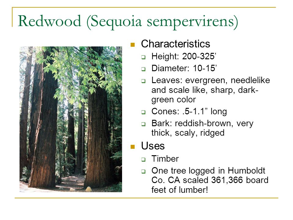 Redwood (Sequoia sempervirens) Characteristics  Height: 200-325'  Diameter: 10-15'  Leaves: evergreen, needlelike and scale like, sharp, dark- gree