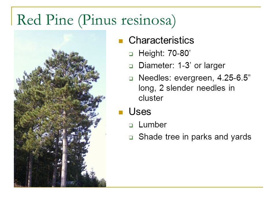 Red Pine (Pinus resinosa) Characteristics  Height: 70-80'  Diameter: 1-3' or larger  Needles: evergreen, 4.25-6.5 long, 2 slender needles in cluster Uses  Lumber  Shade tree in parks and yards