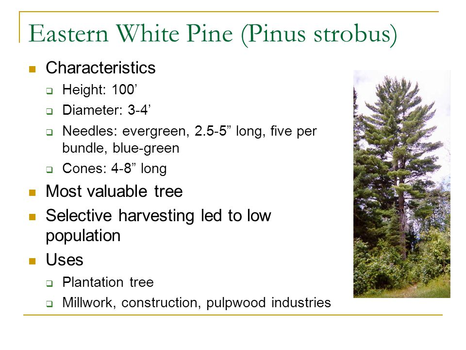 Eastern White Pine (Pinus strobus) Characteristics  Height: 100'  Diameter: 3-4'  Needles: evergreen, 2.5-5 long, five per bundle, blue-green  Cones: 4-8 long Most valuable tree Selective harvesting led to low population Uses  Plantation tree  Millwork, construction, pulpwood industries