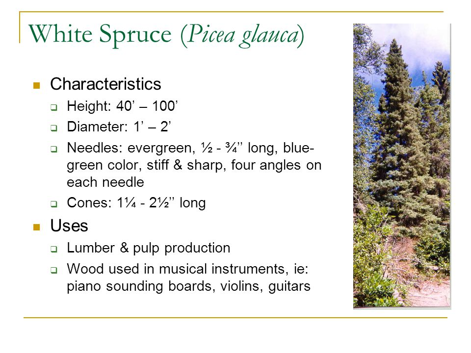 White Spruce (Picea glauca) Characteristics  Height: 40' – 100'  Diameter: 1' – 2'  Needles: evergreen, ½ - ¾'' long, blue- green color, stiff & sharp, four angles on each needle  Cones: 1¼ - 2½'' long Uses  Lumber & pulp production  Wood used in musical instruments, ie: piano sounding boards, violins, guitars