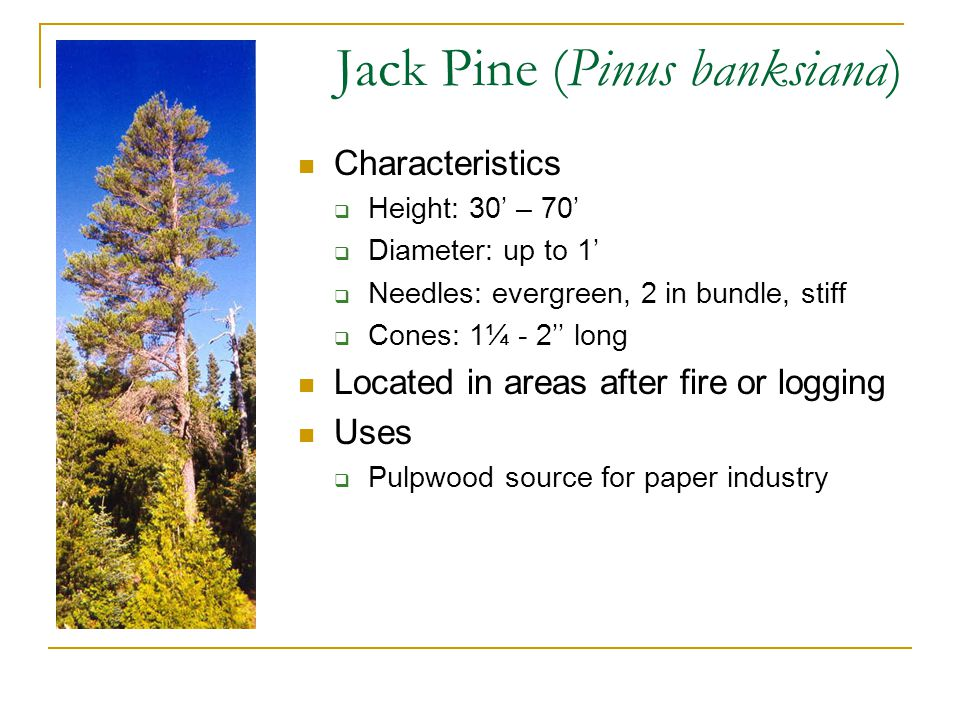 Jack Pine (Pinus banksiana) Characteristics  Height: 30' – 70'  Diameter: up to 1'  Needles: evergreen, 2 in bundle, stiff  Cones: 1¼ - 2'' long Located in areas after fire or logging Uses  Pulpwood source for paper industry