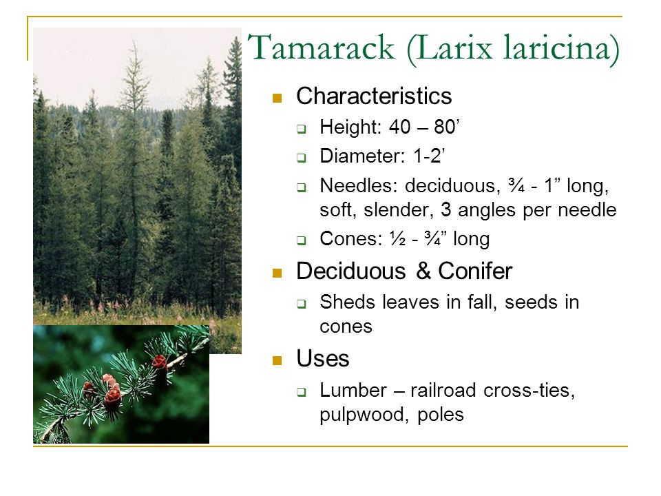 Tamarack (Larix laricina) Characteristics  Height: 40 – 80'  Diameter: 1-2'  Needles: deciduous, ¾ - 1 long, soft, slender, 3 angles per needle  Cones: ½ - ¾ long Deciduous & Conifer  Sheds leaves in fall, seeds in cones Uses  Lumber – railroad cross-ties, pulpwood, poles