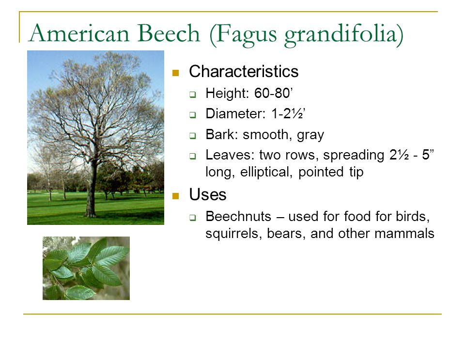 American Beech (Fagus grandifolia) Characteristics  Height: 60-80'  Diameter: 1-2½'  Bark: smooth, gray  Leaves: two rows, spreading 2½ - 5 long, elliptical, pointed tip Uses  Beechnuts – used for food for birds, squirrels, bears, and other mammals