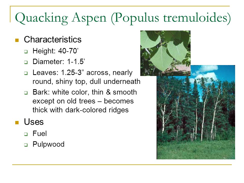 Quacking Aspen (Populus tremuloides) Characteristics  Height: 40-70'  Diameter: 1-1.5'  Leaves: 1.25-3 across, nearly round, shiny top, dull underneath  Bark: white color, thin & smooth except on old trees – becomes thick with dark-colored ridges Uses  Fuel  Pulpwood