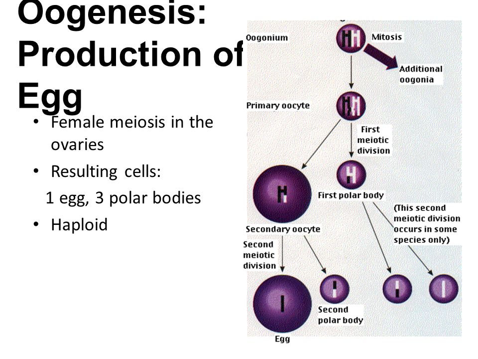 Fertilization: when haploid sperm and egg meet, combining N chromosomes with N chromosomes = 2N zygote Zygote: fertilized egg, 2N ____