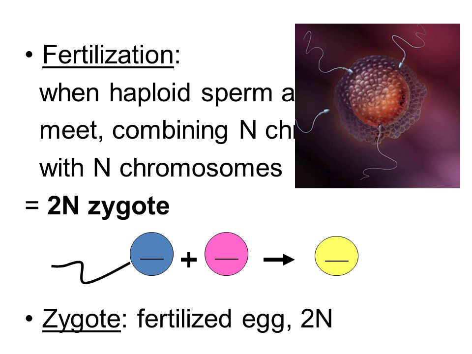 Fertilization: when haploid sperm and egg meet, combining N chromosomes with N chromosomes = 2N zygote Zygote: fertilized egg, 2N ____