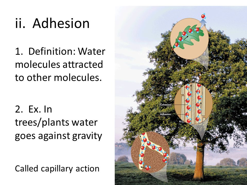 ii. Adhesion 1. Definition: Water molecules attracted to other molecules. 2. Ex. In trees/plants water goes against gravity Called capillary action