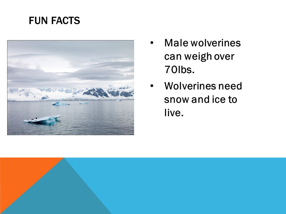 Male wolverines can weigh over 70lbs. Wolverines need snow and ice to live. FUN FACTS