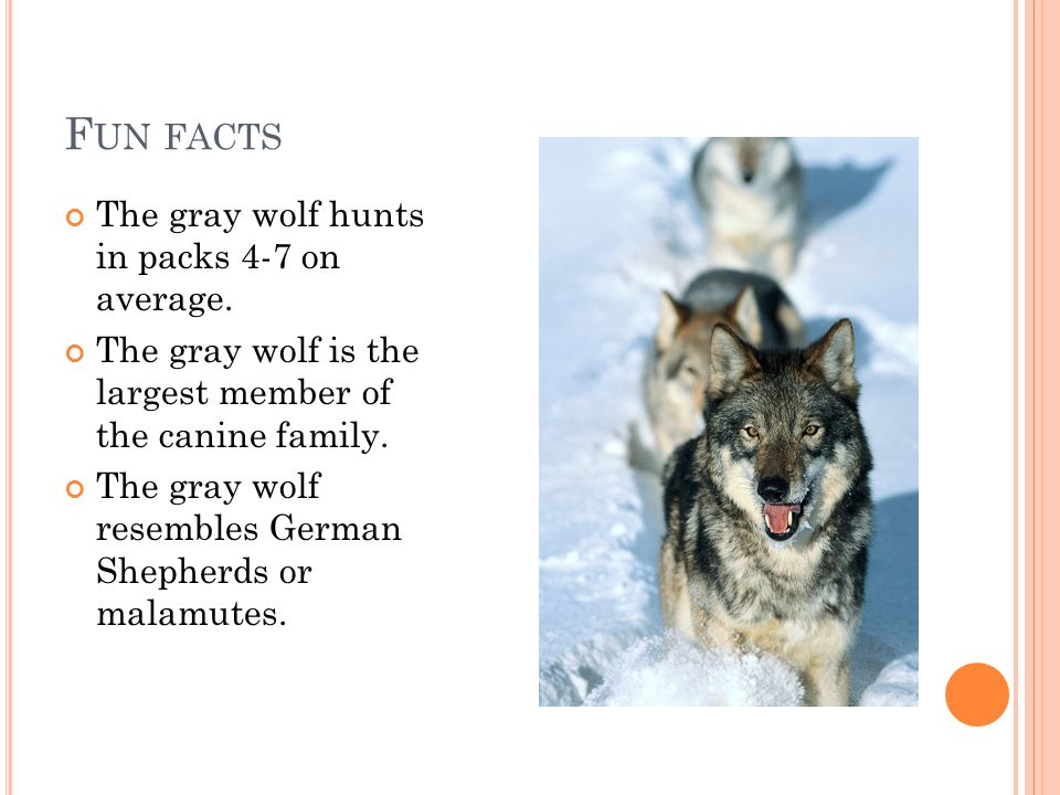 F UN FACTS The gray wolf hunts in packs 4-7 on average.