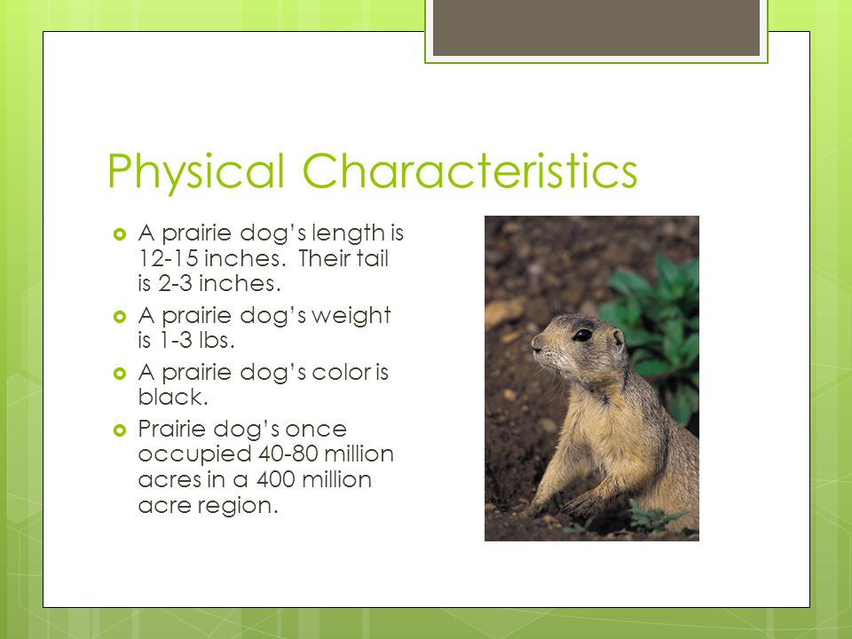 Lifespan  A prairie dog's lifespan is 3-5 years in the wild and 8 years in captivity.