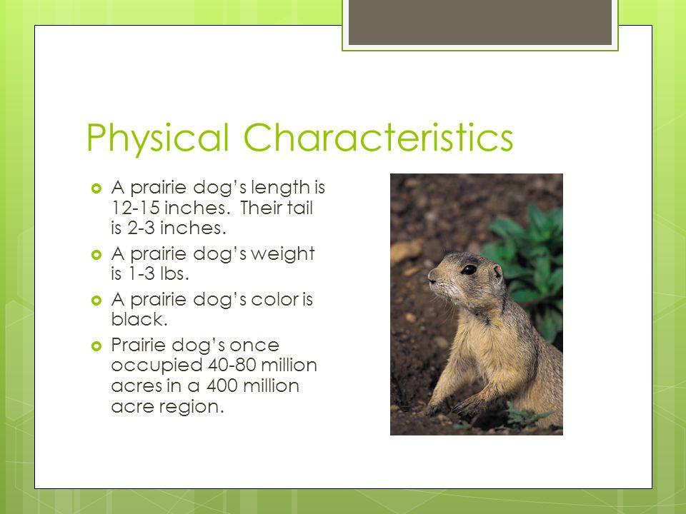 Physical Characteristics  A prairie dog's length is 12-15 inches. Their tail is 2-3 inches.  A prairie dog's weight is 1-3 lbs.  A prairie dog's co