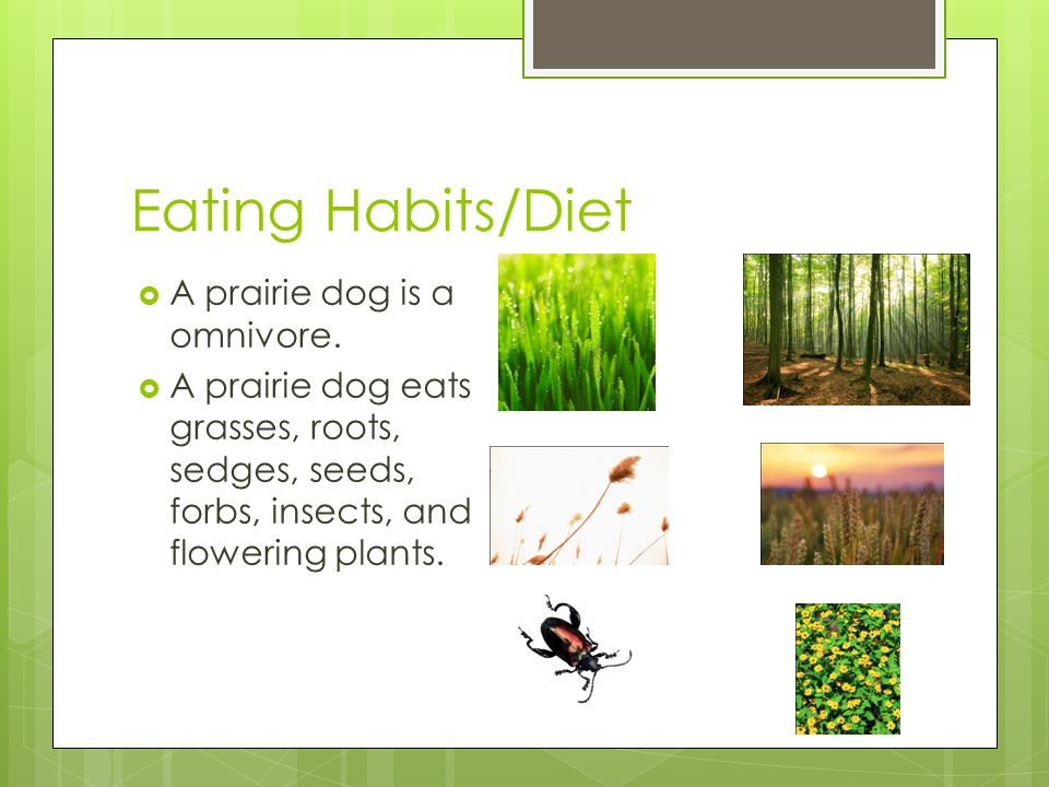 Eating Habits/Diet  A prairie dog is a omnivore.  A prairie dog eats grasses, roots, sedges, seeds, forbs, insects, and flowering plants.