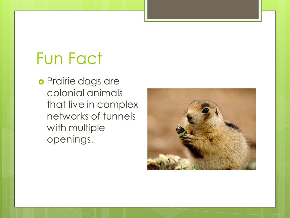 Fun Fact  Prairie dogs are colonial animals that live in complex networks of tunnels with multiple openings.