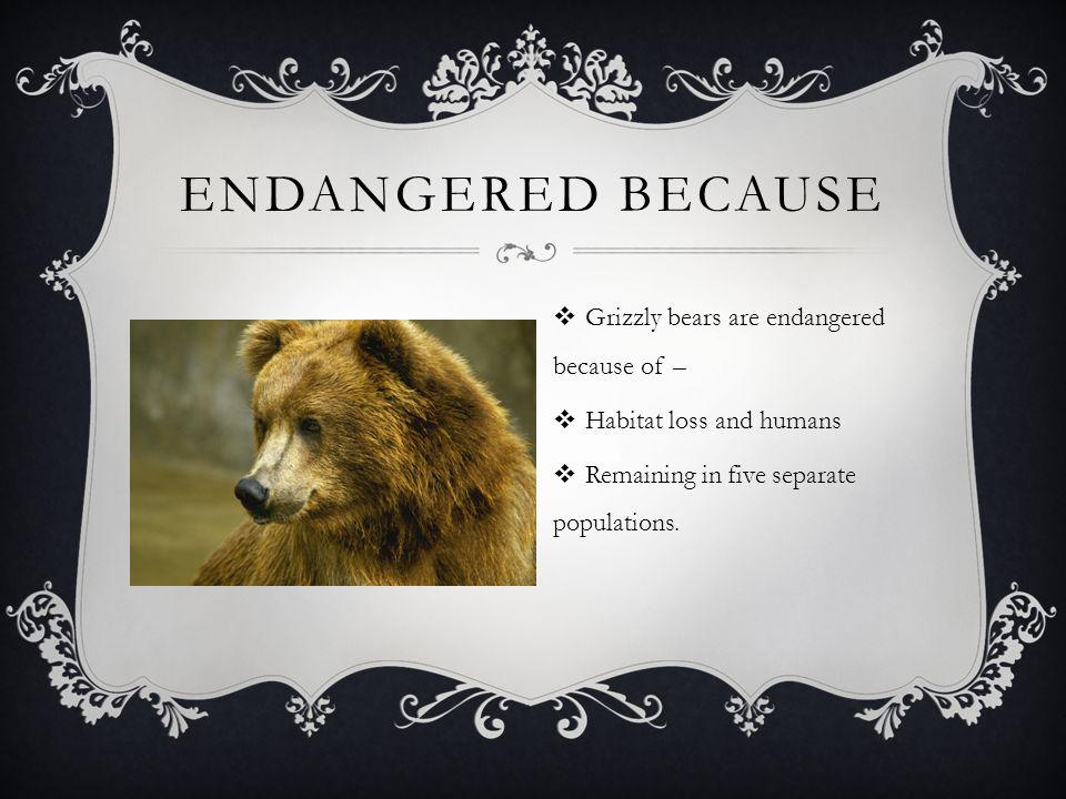 ENDANGERED BECAUSE  Grizzly bears are endangered because of –  Habitat loss and humans  Remaining in five separate populations.