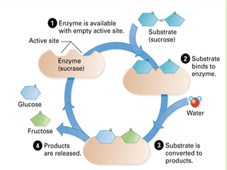 IV. Enzymes are Specific How.