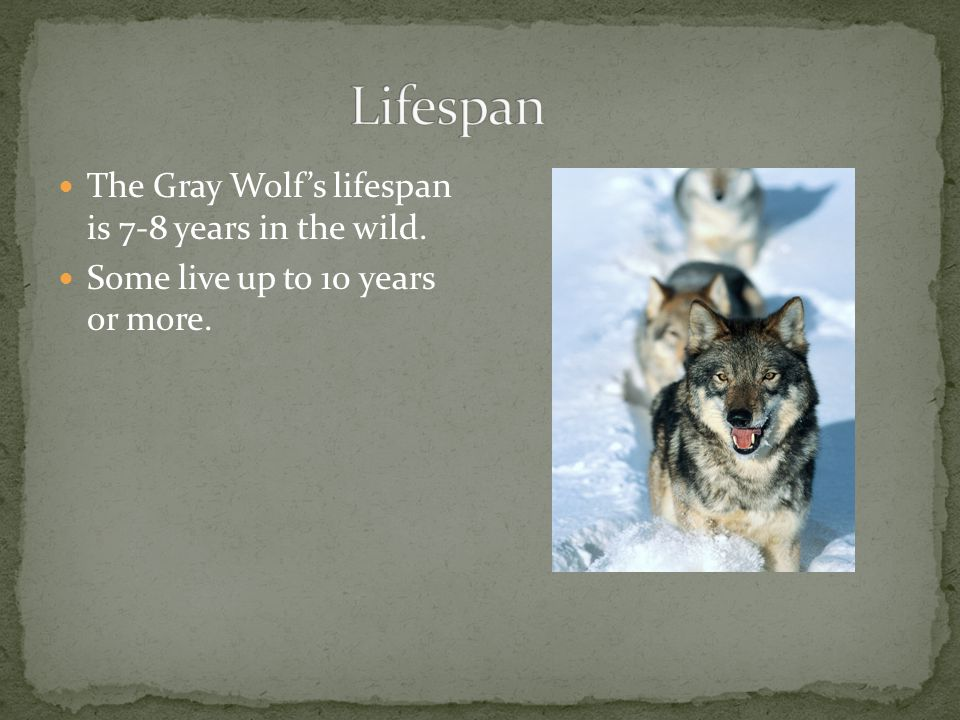 The Gray Wolf's lifespan is 7-8 years in the wild. Some live up to 10 years or more.