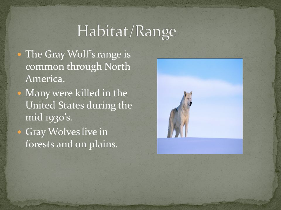 The Gray Wolf's range is common through North America.