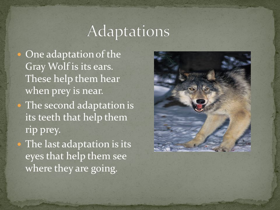 One adaptation of the Gray Wolf is its ears. These help them hear when prey is near.