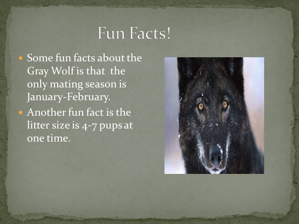 Some fun facts about the Gray Wolf is that the only mating season is January-February.