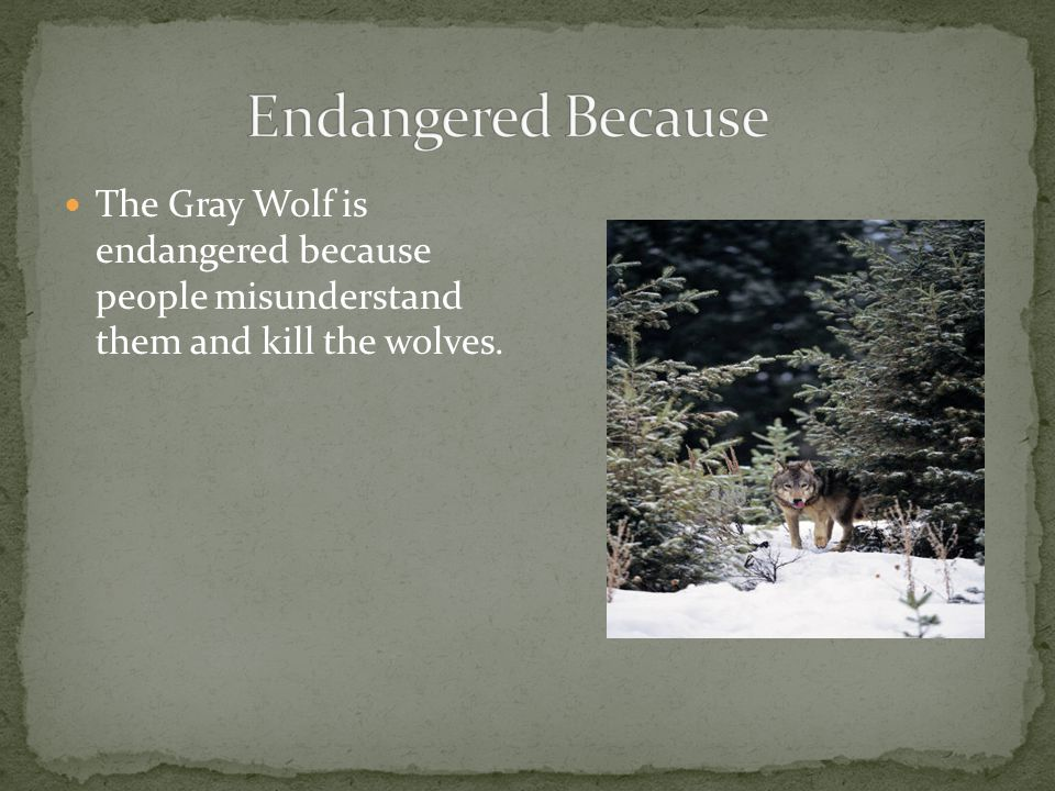 The Gray Wolf is endangered because people misunderstand them and kill the wolves.