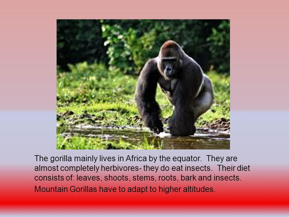 The gorilla mainly lives in Africa by the equator.