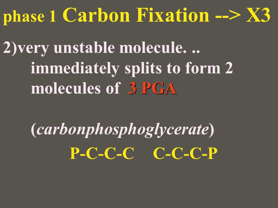 phase 1 Carbon Fixation --> X3 3 PGA 2)very unstable molecule... immediately splits to form 2 molecules of 3 PGA (carbonphosphoglycerate) P-C-C-CC-C-C