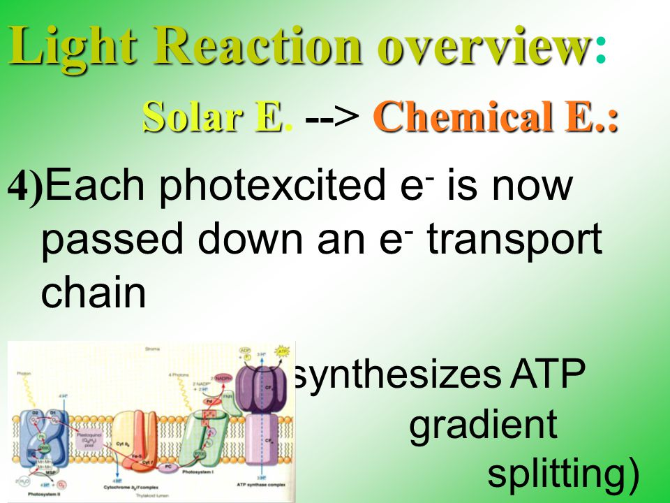 "Light Reaction overview Light Reaction overview: 4) Each photexcited e - is now passed down an e - transport chain 5) The e- ""fall"" synthesizes ATP (H"